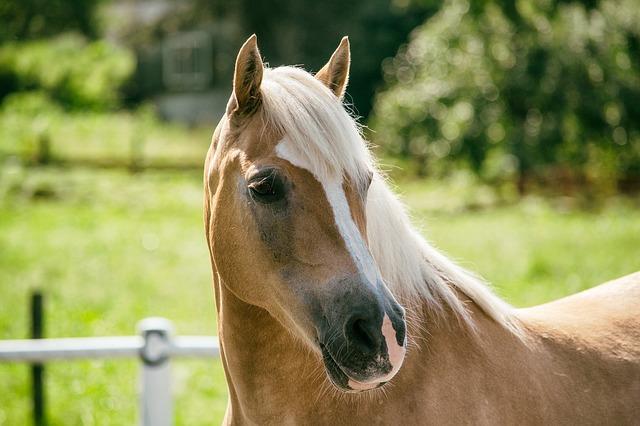 Top Haflinger kaufen und verkaufen | Pferdemarkt ehorses.de &OJ_27