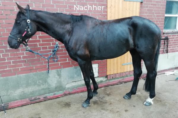 Schwarzbraunes Pferd im Seitenbild im Stand Nachher