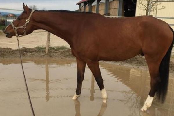Braunes Pferd Seitenbild im Stand