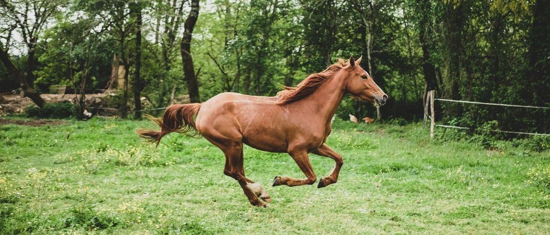 Eiliges Pferd kontrollieren: Braunes Pferd galoppiert über eine grüne Wiese
