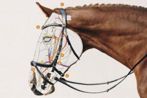 Wie die EQUITUS Trensen auf den Pferdekopf wirken.