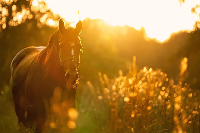Pferd tot: Pferd bei Sonnenuntergang auf einer Wiese