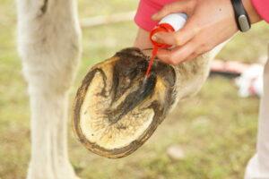 Strahlfauele-Pferd-Mittel