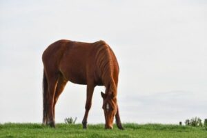 Atypische Weidemyopathie: Pferd grast auf einer grünen Wiese