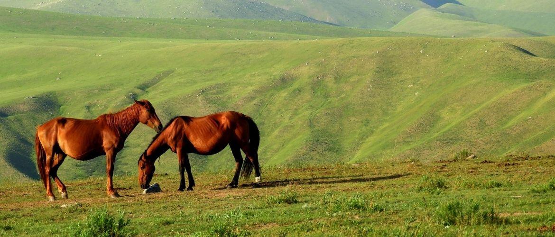 Atypische Weidemyopathie: Zwei Pferde grasen in den Bergen