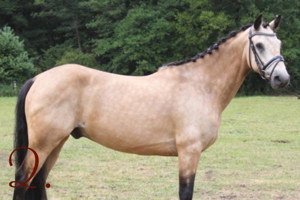 Ponyrassen: Connemara