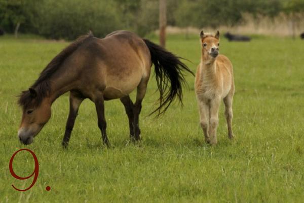 Ponyrassen: Exmoor Pony