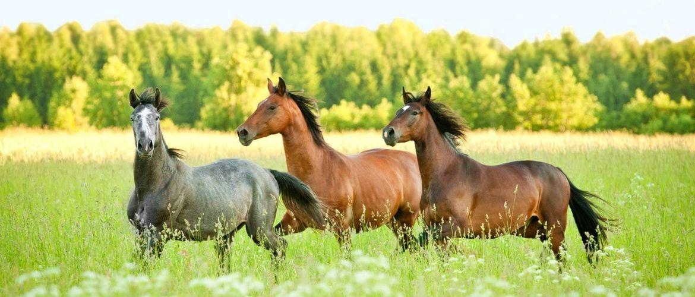 Pferdezucht: Drei Pferde laufen auf einem Feld