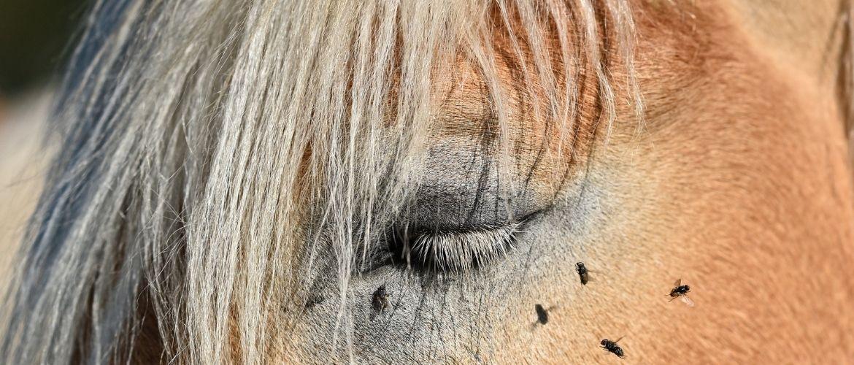 Fliegen am Auge des Pferdes