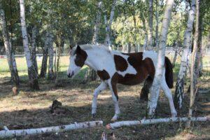 Fellfarben Pferd: Schecke