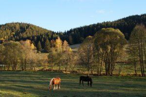 Ernährung Pferd: Pferde grasen auf einer Koppel