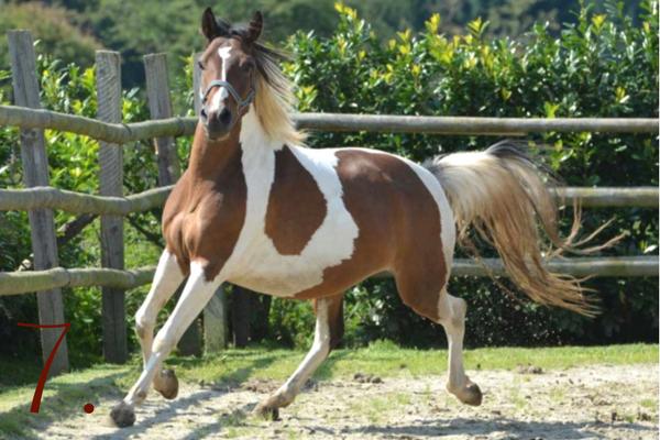 Ponyrasen: Lewitzer