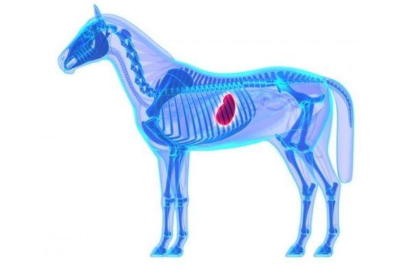 Magengeschwür beim Pferd: Gastroskopie