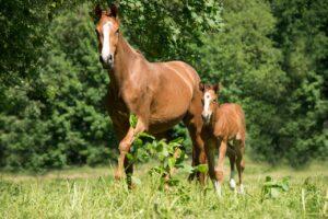 Fellfarben Pferde: Fuchs