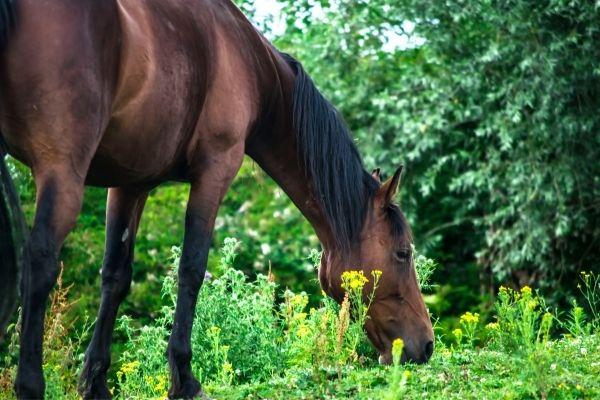Muskelaufbau: Pferd frisst Gras im Wald