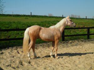 Fellfarben Pferd: Palomino