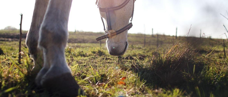 Pilz beim Pferd: Pferd am Grasen auf der Weide