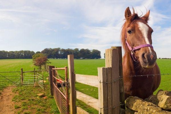 Teufelskralle: Pferd auf einer Koppel