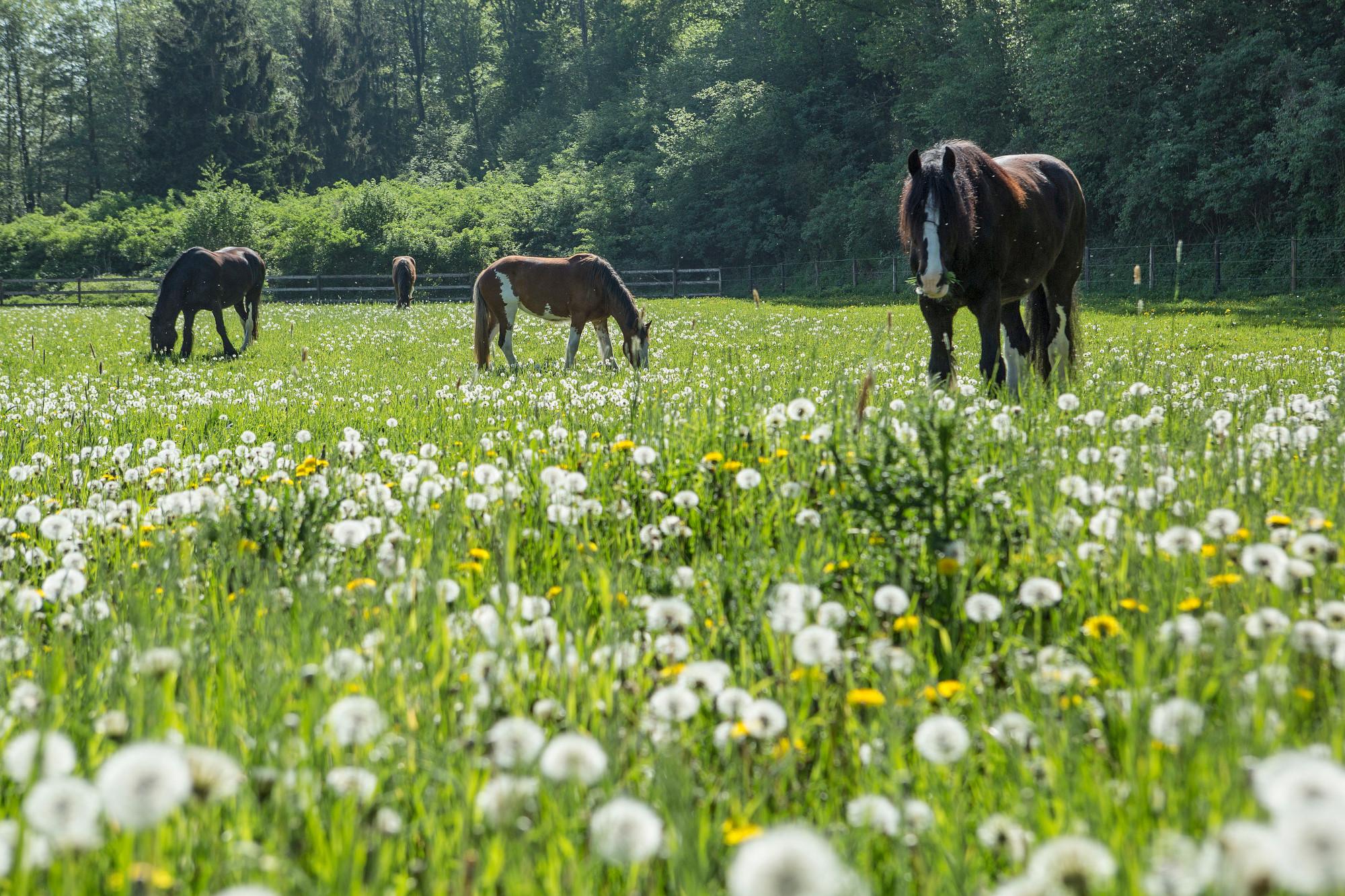 pferde-auf-wiese-beim-grasen