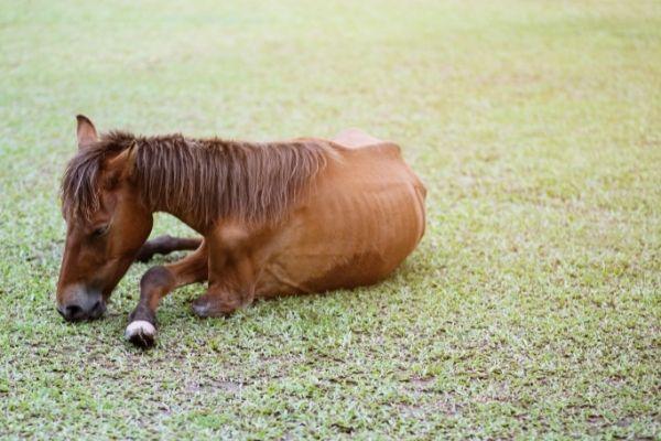 Pferdekrankheiten: Pferd liegt wegen Lahmheit auf dem Boden