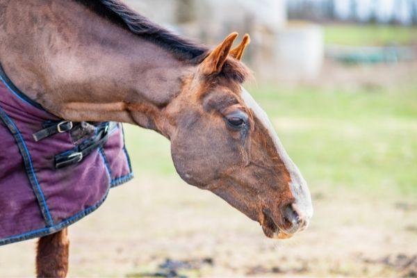 Malleus beim Pferd