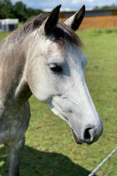 Gesicht vom Pferd
