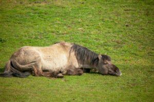 Schlafendes Pferd im Liegen