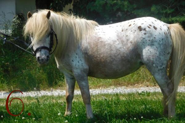 Ponyrassen: Shetland Pony