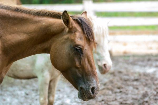Shivering Pferd Symptome
