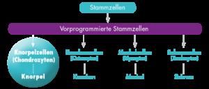 stammzellentherapie-pferd-grafik-ablauf