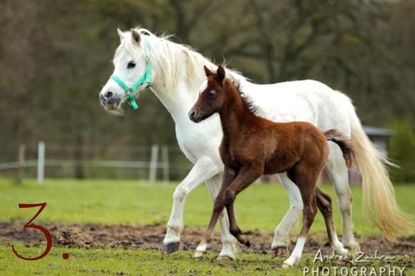 Ponyrassen: Welsh-Pony
