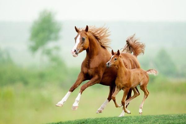 Zwei Pferde im Lauf